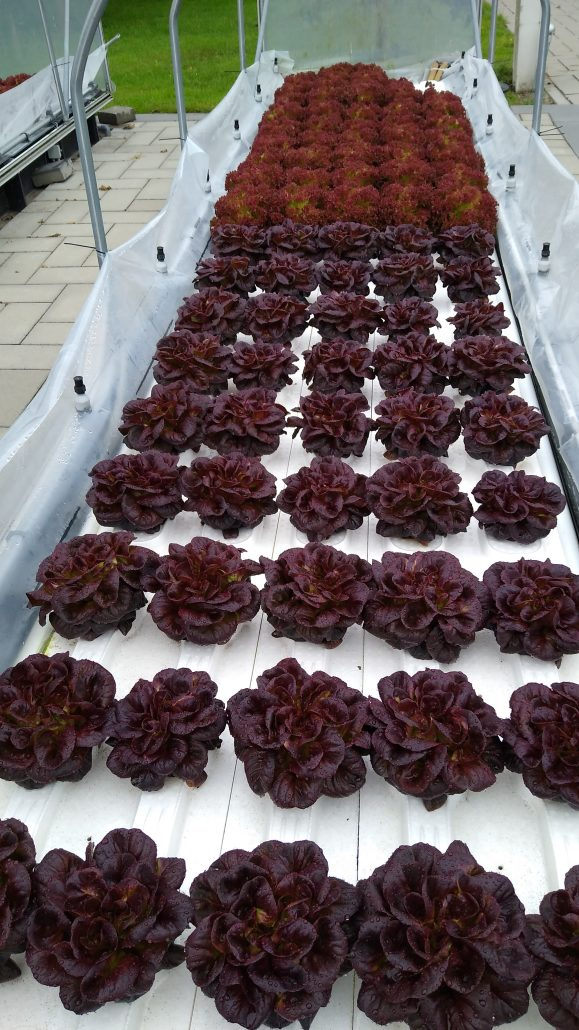 Lettuce grown using conventional fertilisers